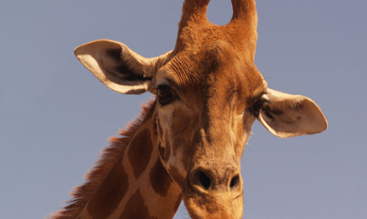 A close up of a giraffe looking at the camera